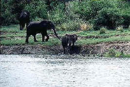 Elephants at the water's edge.